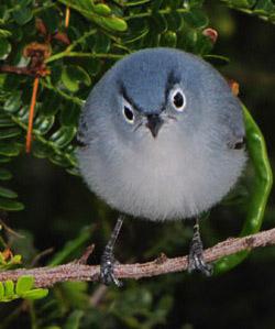 Angrybird