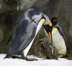 PenguinChick