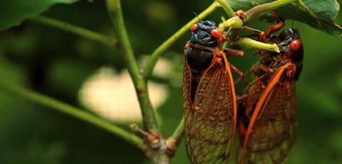 2_cicada