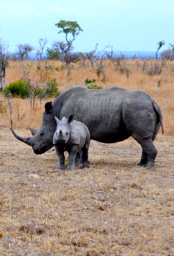 3_rhino