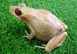 Transparentfrog