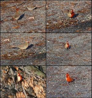Cardingal